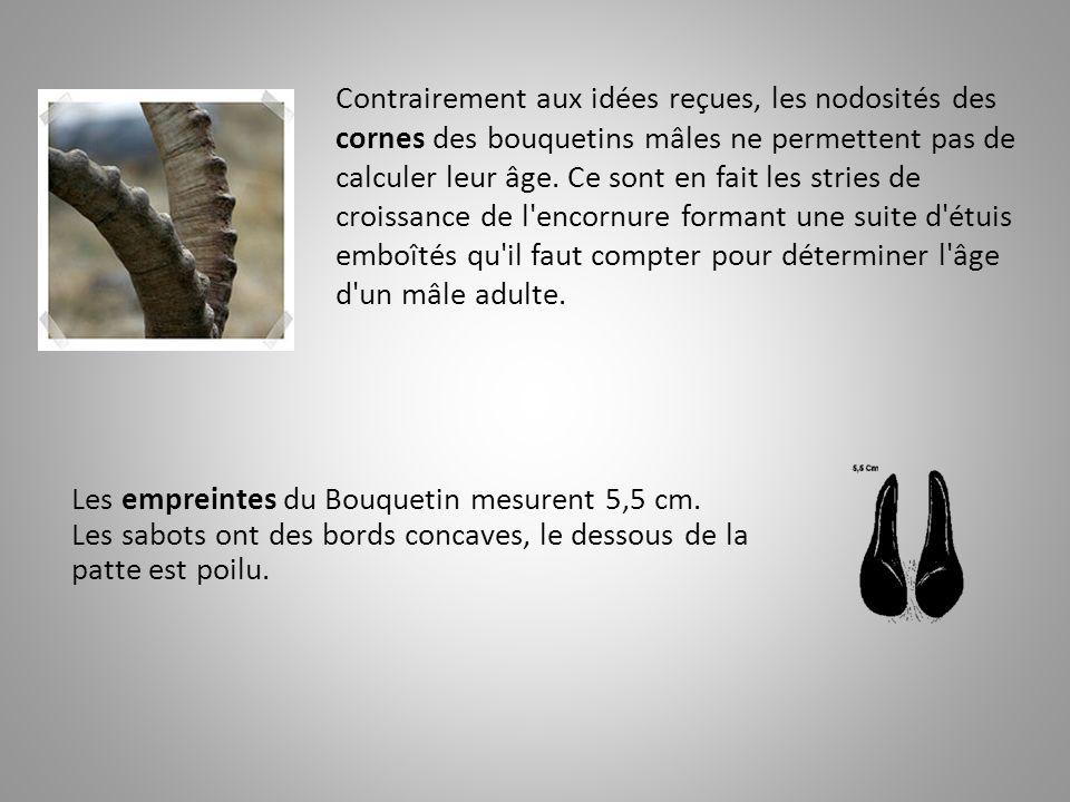 Contrairement aux idées reçues, les nodosités des cornes des bouquetins mâles ne permettent pas de calculer leur âge. Ce sont en fait les stries de croissance de l encornure formant une suite d étuis emboîtés qu il faut compter pour déterminer l âge d un mâle adulte.