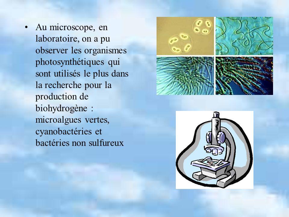 Au microscope, en laboratoire, on a pu observer les organismes photosynthétiques qui sont utilisés le plus dans la recherche pour la production de biohydrogène : microalgues vertes, cyanobactéries et bactéries non sulfureux