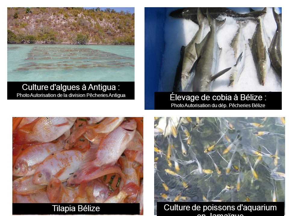 Culture d algues à Antigua : Élevage de cobia à Bélize :