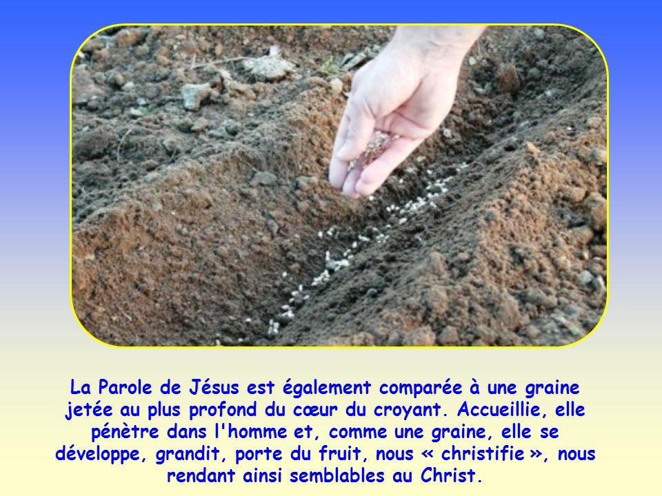 La Parole de Jésus est également comparée à une graine jetée au plus profond du cœur du croyant.