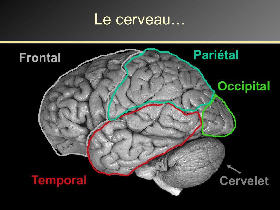 Le cerveau… Pariétal Frontal Occipital Temporal Cervelet