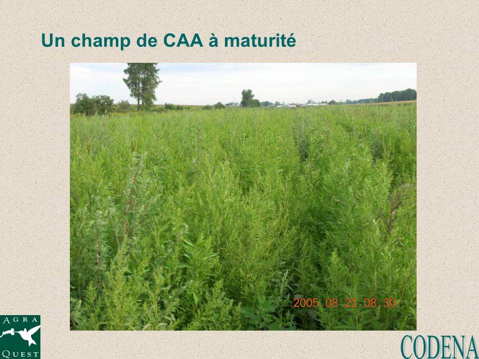 Un champ de CAA à maturité
