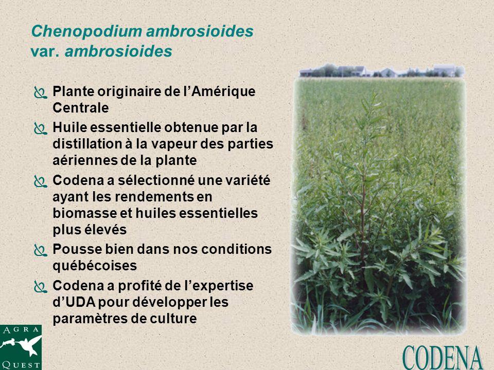 Chenopodium ambrosioides var. ambrosioides