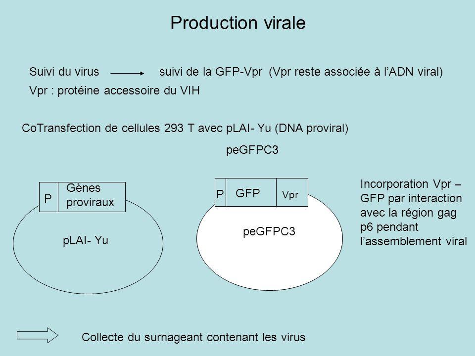 Production virale Suivi du virus suivi de la GFP-Vpr (Vpr reste associée à l'ADN viral)