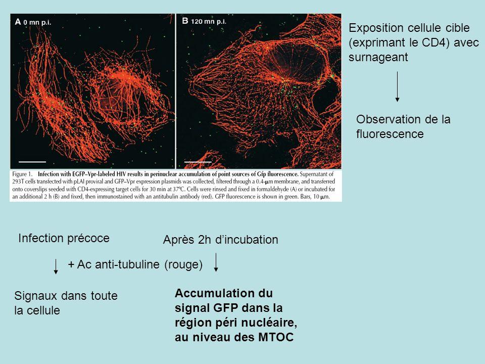 Exposition cellule cible (exprimant le CD4) avec surnageant