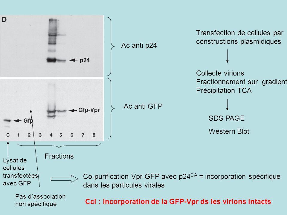 Transfection de cellules par constructions plasmidiques