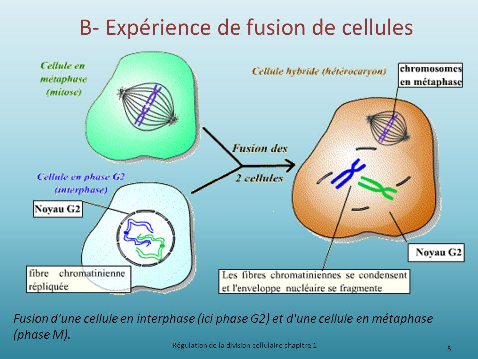 B- Expérience de fusion de cellules