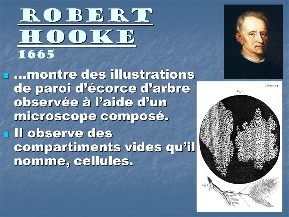 Robert Hooke 1665 …montre des illustrations de paroi d'écorce d'arbre observée à l'aide d'un microscope composé.