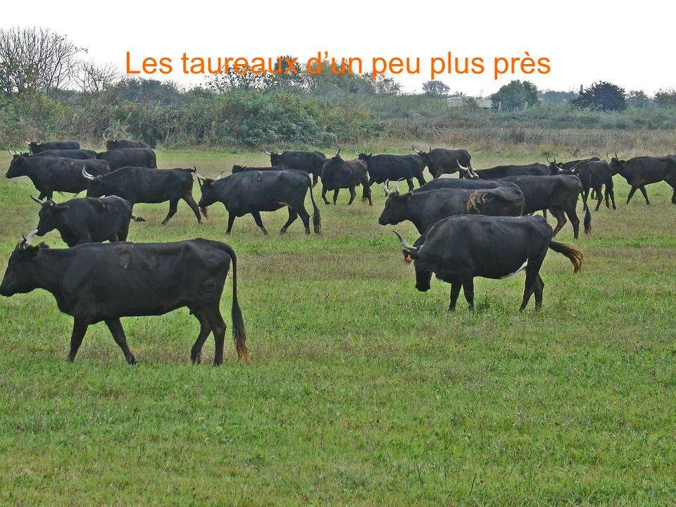 Les taureaux d'un peu plus près