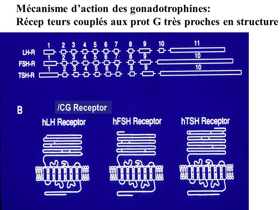 Mécanisme d'action des gonadotrophines: