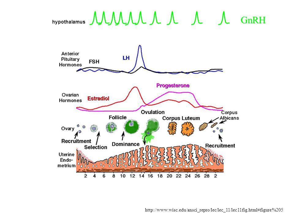 GnRH hypothalamus http://www.wisc.edu/ansci_repro/lec/lec_11/lec11fig.html#figure%205