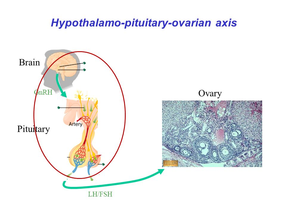 Hypothalamo-pituitary-ovarian axis