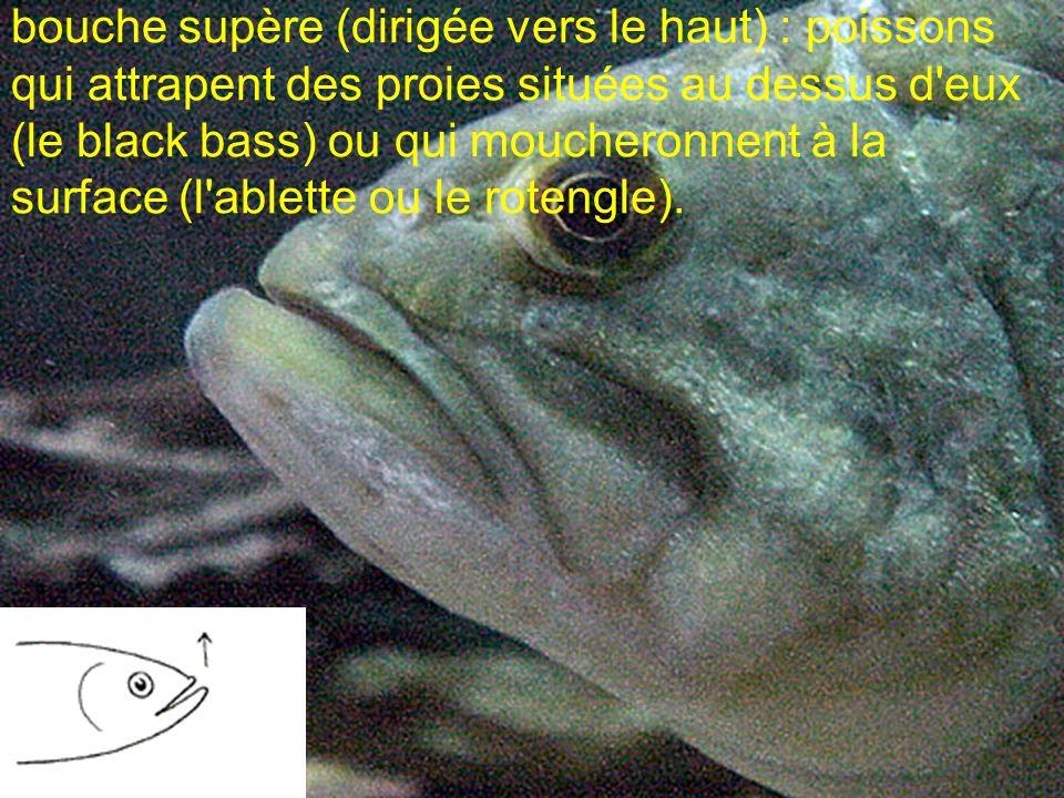 bouche supère (dirigée vers le haut) : poissons qui attrapent des proies situées au dessus d eux (le black bass) ou qui moucheronnent à la surface (l ablette ou le rotengle).