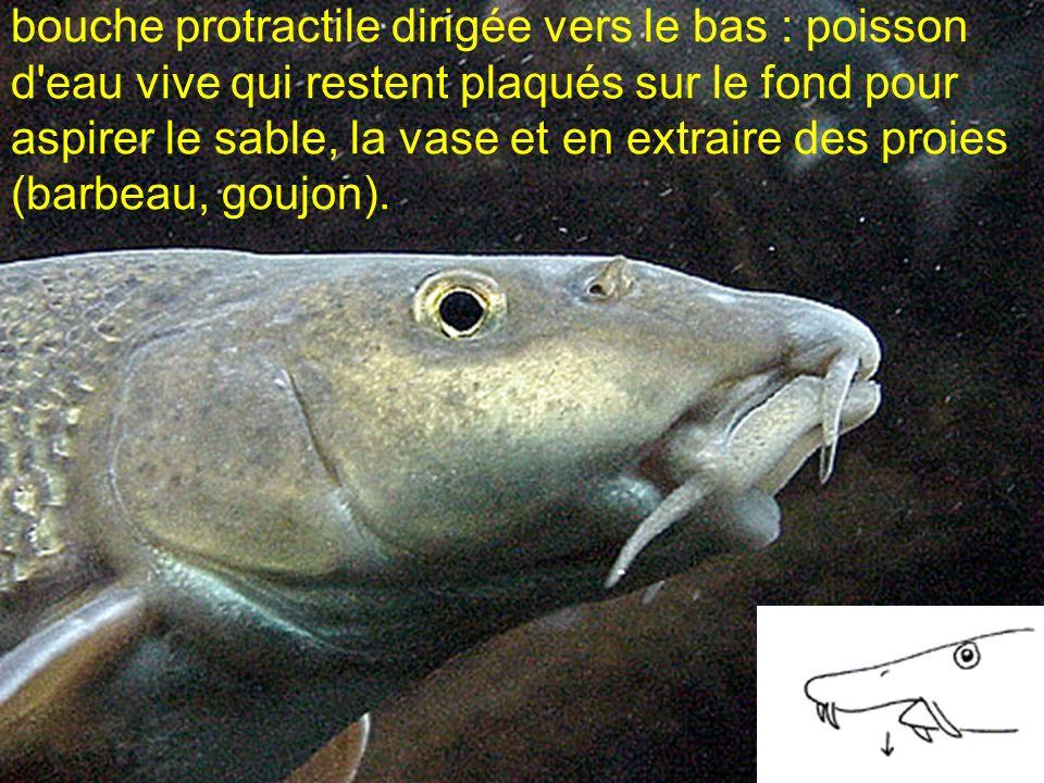 bouche protractile dirigée vers le bas : poisson d eau vive qui restent plaqués sur le fond pour aspirer le sable, la vase et en extraire des proies (barbeau, goujon).