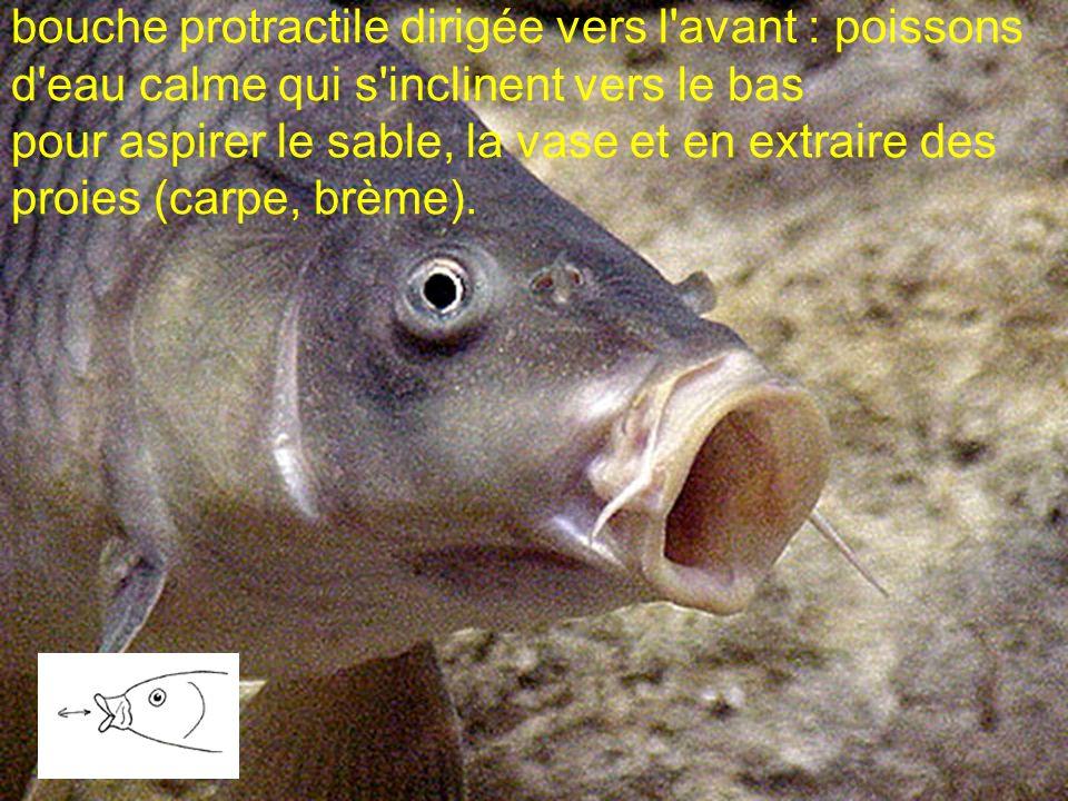 bouche protractile dirigée vers l avant : poissons d eau calme qui s inclinent vers le bas