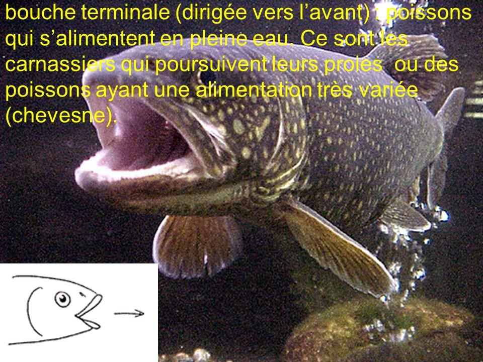 bouche terminale (dirigée vers l'avant) : poissons qui s'alimentent en pleine eau. Ce sont les carnassiers qui poursuivent leurs proies ou des poissons ayant une alimentation très variée (chevesne).