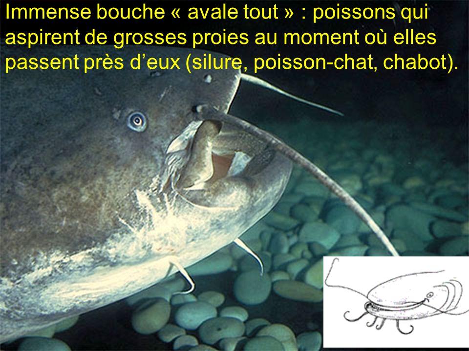 Immense bouche « avale tout » : poissons qui aspirent de grosses proies au moment où elles passent près d'eux (silure, poisson-chat, chabot).