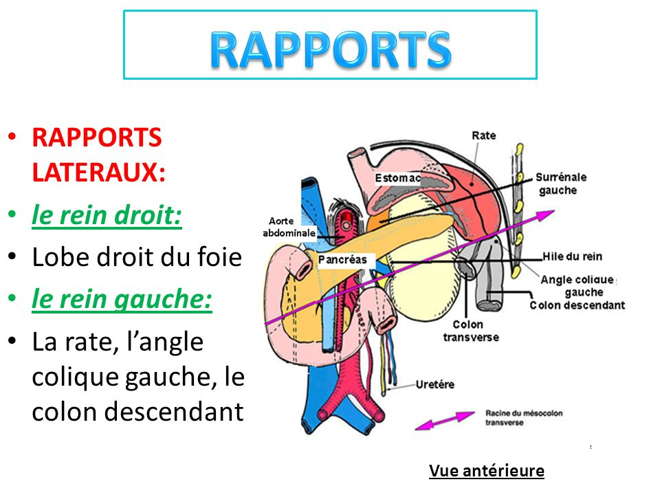 RAPPORTS RAPPORTS LATERAUX: le rein droit: Lobe droit du foie