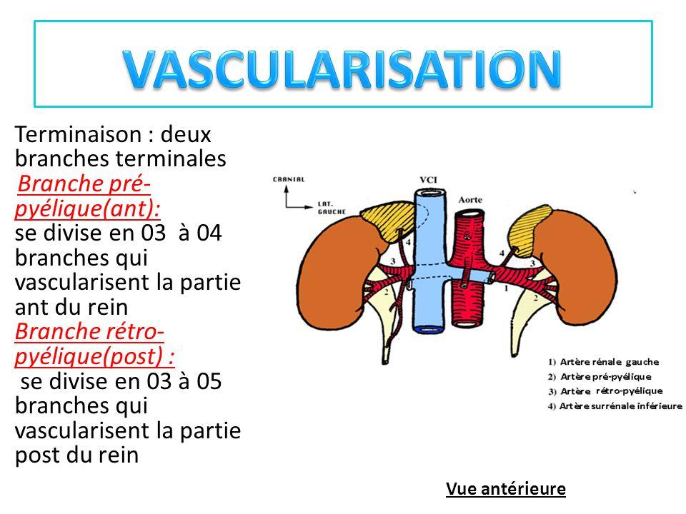 VASCULARISATION Terminaison : deux branches terminales