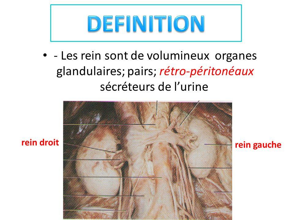 DEFINITION - Les rein sont de volumineux organes glandulaires; pairs; rétro-péritonéaux sécréteurs de l'urine