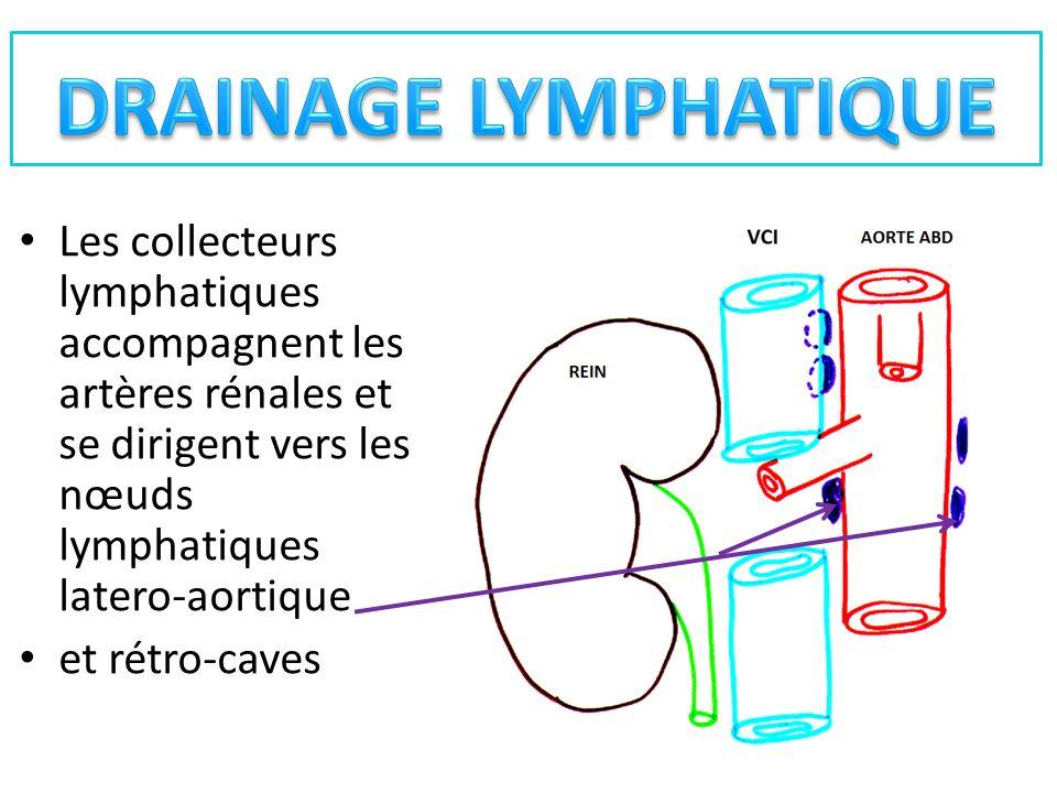 DRAINAGE LYMPHATIQUE Les collecteurs lymphatiques accompagnent les artères rénales et se dirigent vers les nœuds lymphatiques latero-aortique.