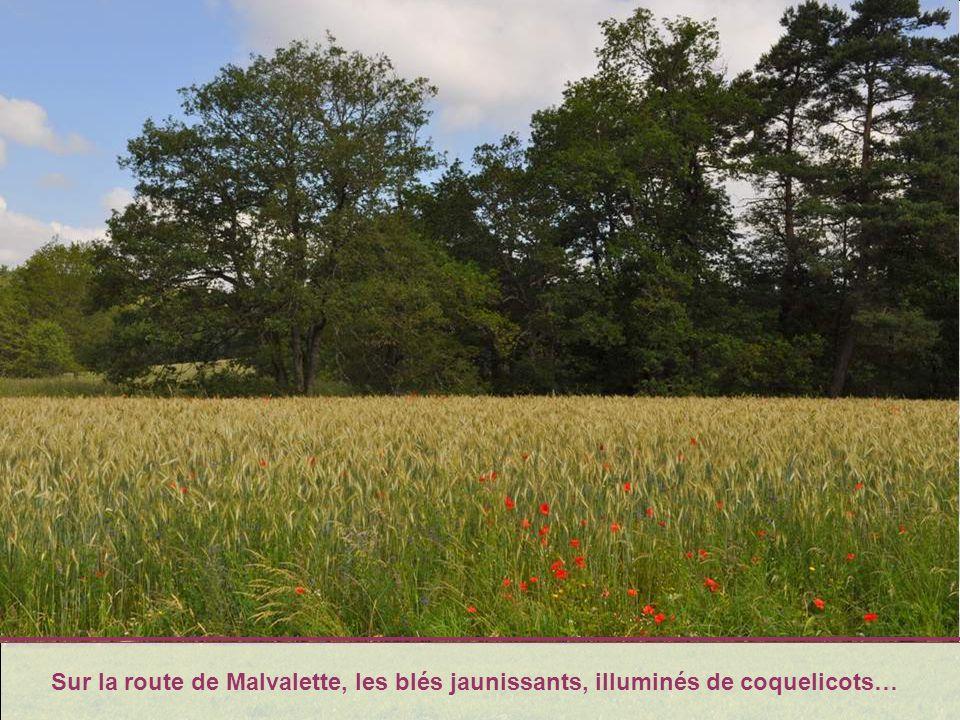 Sur la route de Malvalette, les blés jaunissants, illuminés de coquelicots…