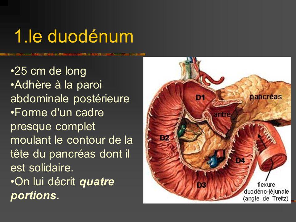 1.le duodénum 25 cm de long Adhère à la paroi abdominale postérieure