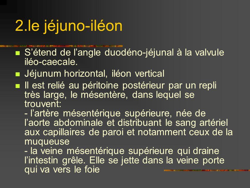 2.le jéjuno-iléon S'étend de l'angle duodéno-jéjunal à la valvule iléo-caecale. Jéjunum horizontal, iléon vertical.