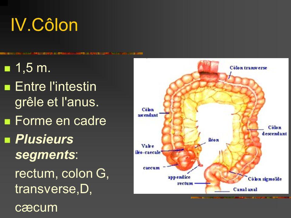 IV.Côlon 1,5 m. Entre l intestin grêle et l anus. Forme en cadre