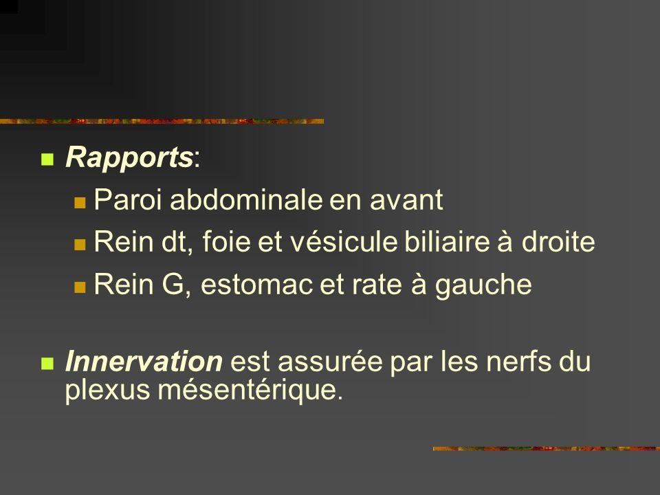 Rapports: Paroi abdominale en avant. Rein dt, foie et vésicule biliaire à droite. Rein G, estomac et rate à gauche.
