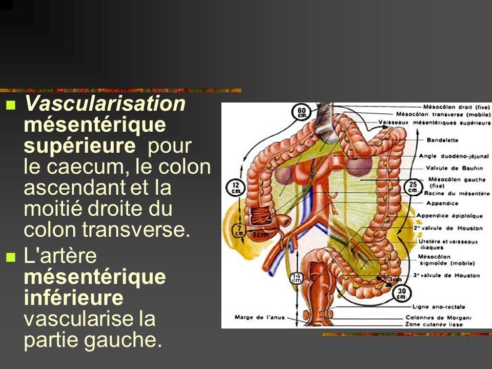 Vascularisation mésentérique supérieure pour le caecum, le colon ascendant et la moitié droite du colon transverse.