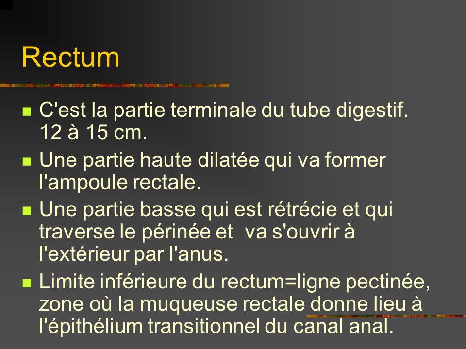 Rectum C est la partie terminale du tube digestif. 12 à 15 cm.