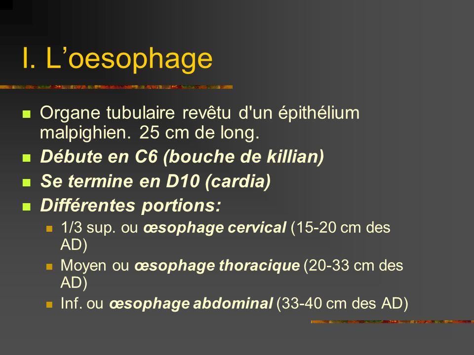 I. L'oesophage Organe tubulaire revêtu d un épithélium malpighien. 25 cm de long. Débute en C6 (bouche de killian)