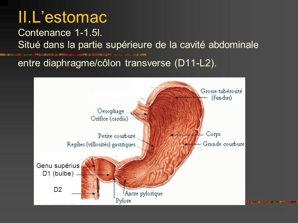 II. L'estomac Contenance 1-1. 5l