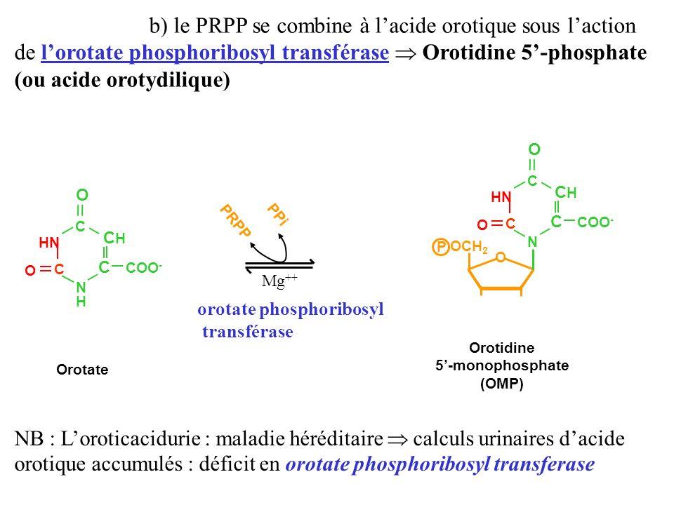 b) le PRPP se combine à l'acide orotique sous l'action de l'orotate phosphoribosyl transférase  Orotidine 5'-phosphate (ou acide orotydilique)