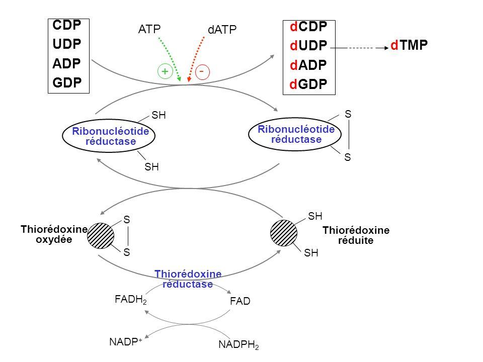 CDP dCDP UDP dUDP ADP dADP dTMP GDP dGDP + - ATP dATP SH S