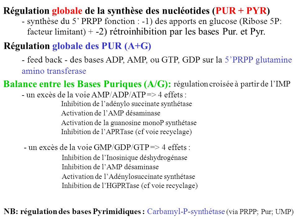 Régulation globale de la synthèse des nucléotides (PUR + PYR)