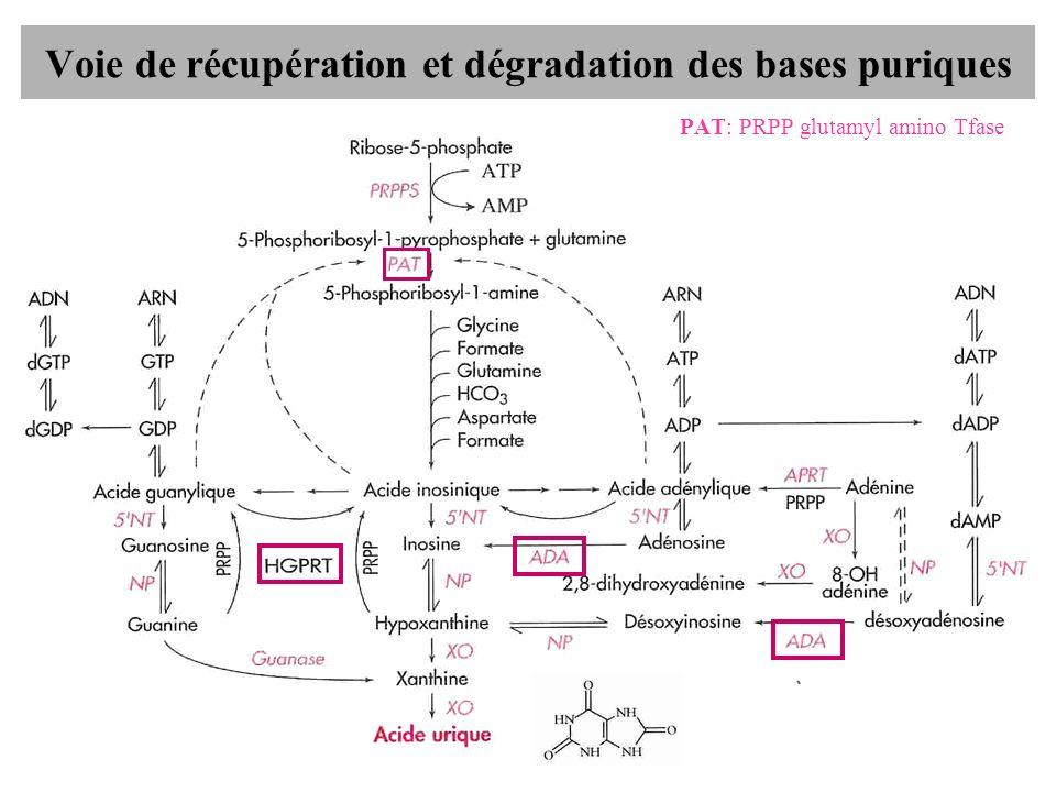 Voie de récupération et dégradation des bases puriques