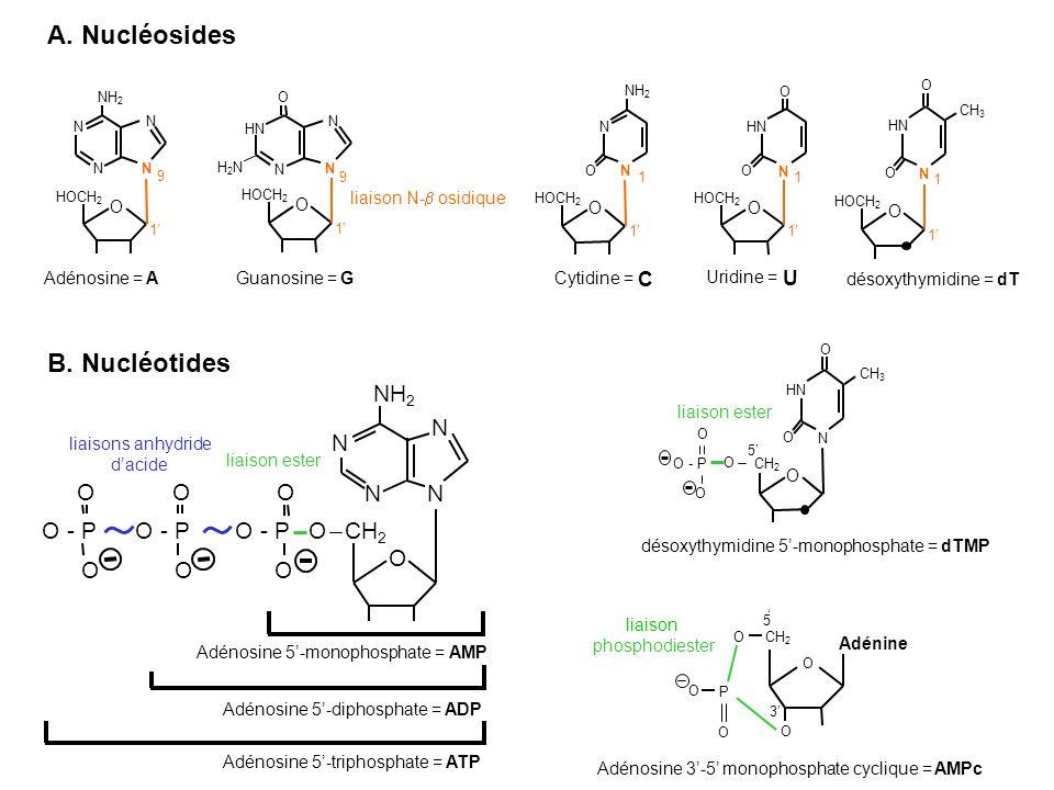 A. Nucléosides B. Nucléotides NH2 N N O O O N N O - P O - P O - P O