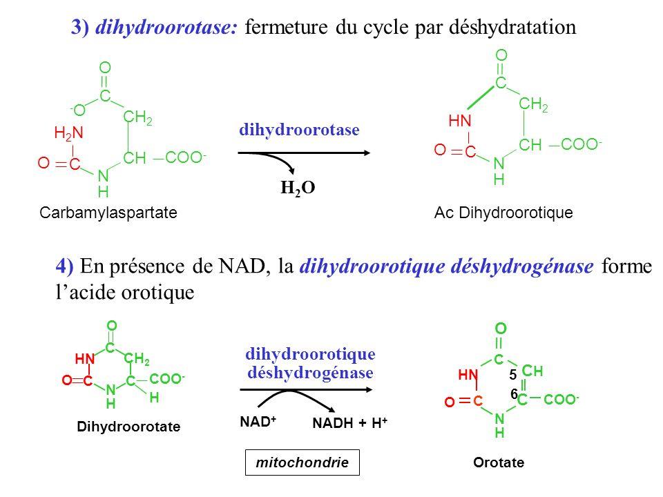3) dihydroorotase: fermeture du cycle par déshydratation