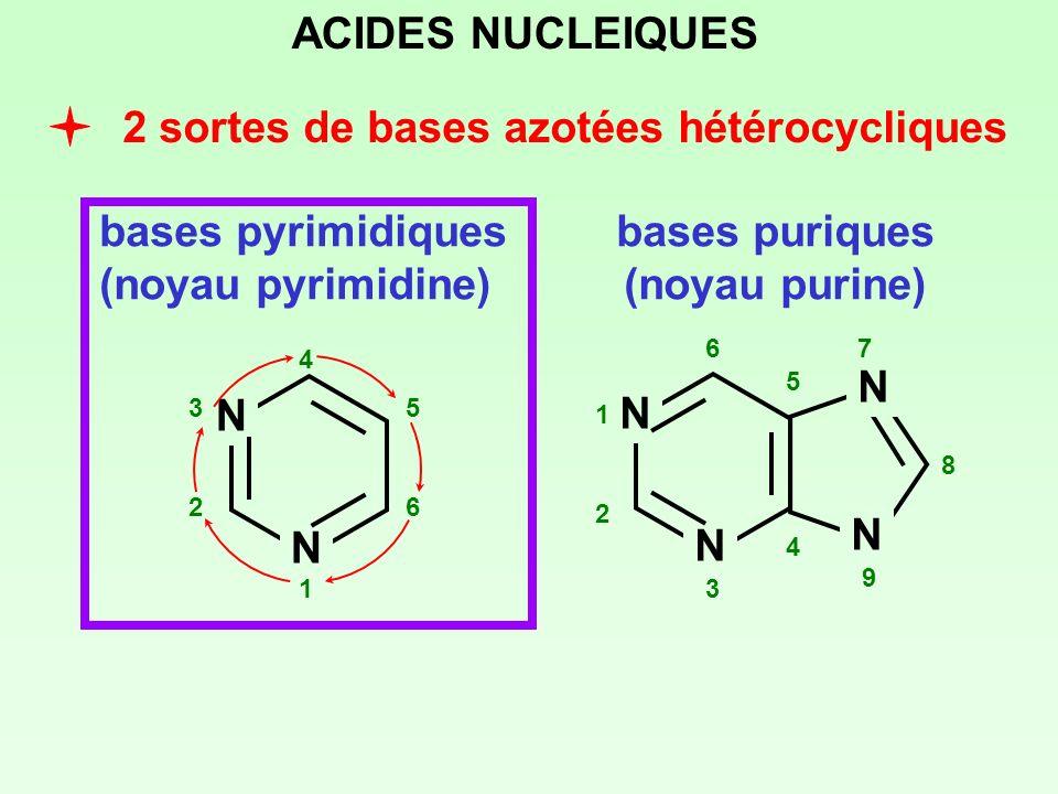 bases puriques (noyau purine)