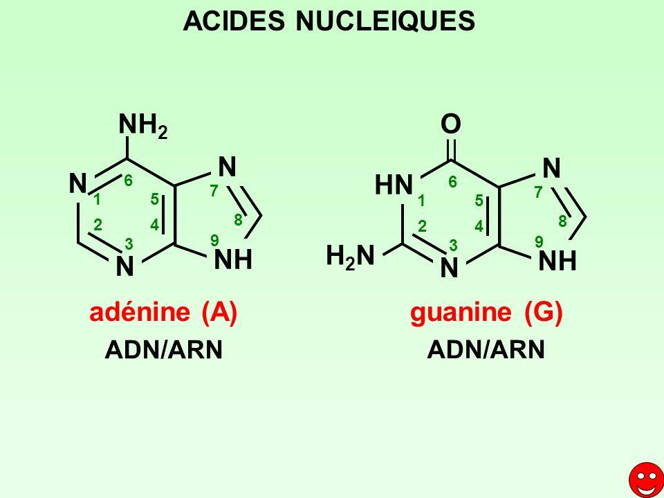 ACIDES NUCLEIQUES adénine (A) NH2 N NH HN N NH H2N O guanine (G)