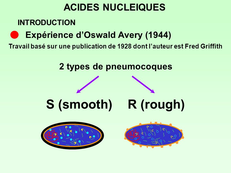 S (smooth) R (rough) ACIDES NUCLEIQUES