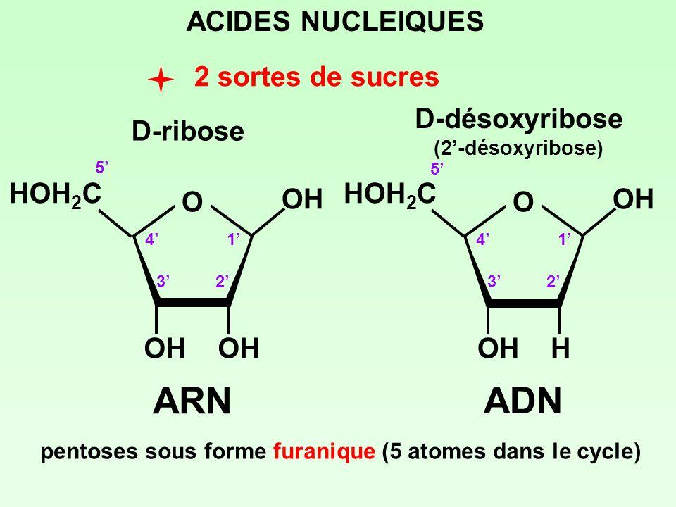 ARN ADN ACIDES NUCLEIQUES 2 sortes de sucres D-ribose D-désoxyribose O