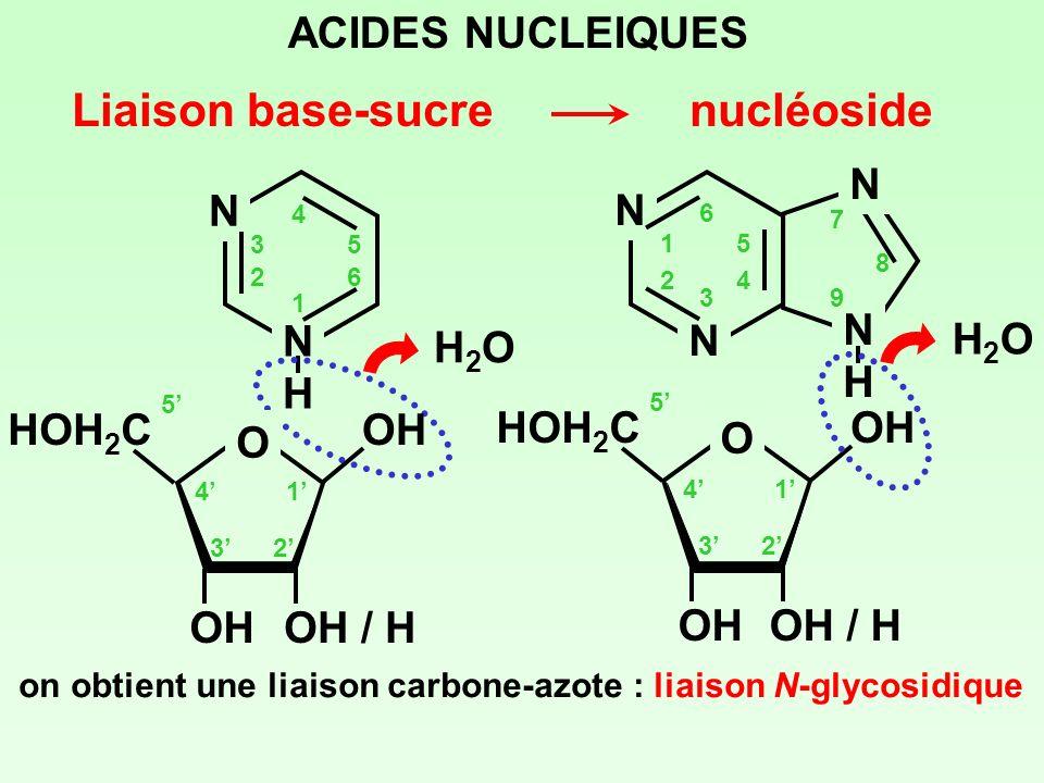 Liaison base-sucre nucléoside ACIDES NUCLEIQUES N H N H H2O H2O O