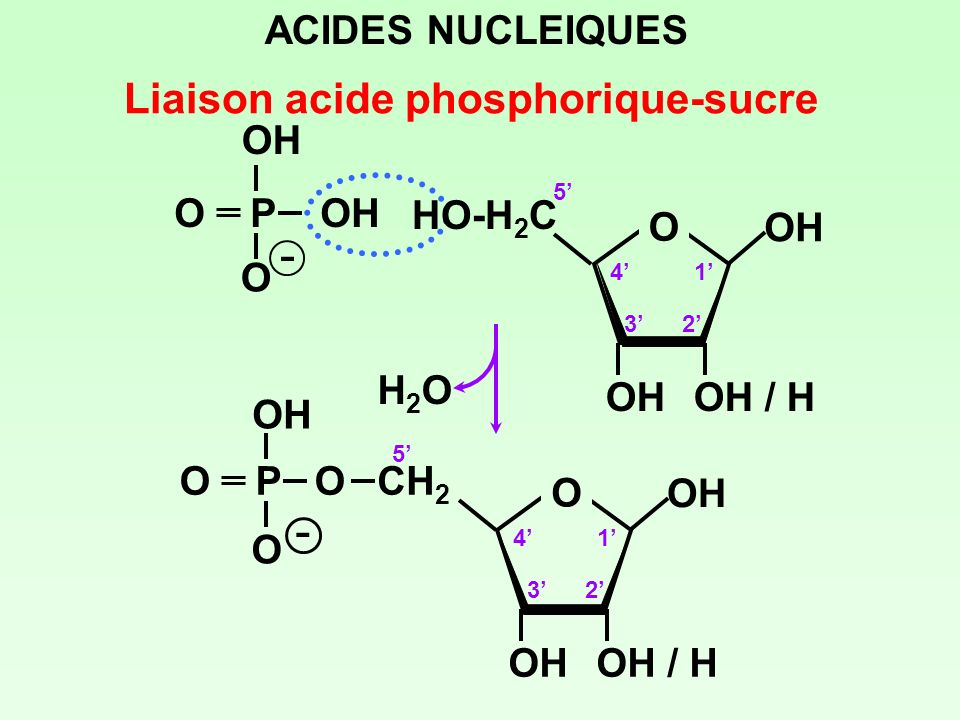 - - Liaison acide phosphorique-sucre ACIDES NUCLEIQUES O P OH OH O OH