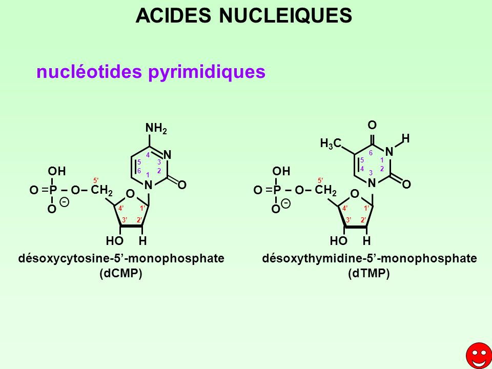 ACIDES NUCLEIQUES nucléotides pyrimidiques NH2 O H H3C N N OH OH N O N