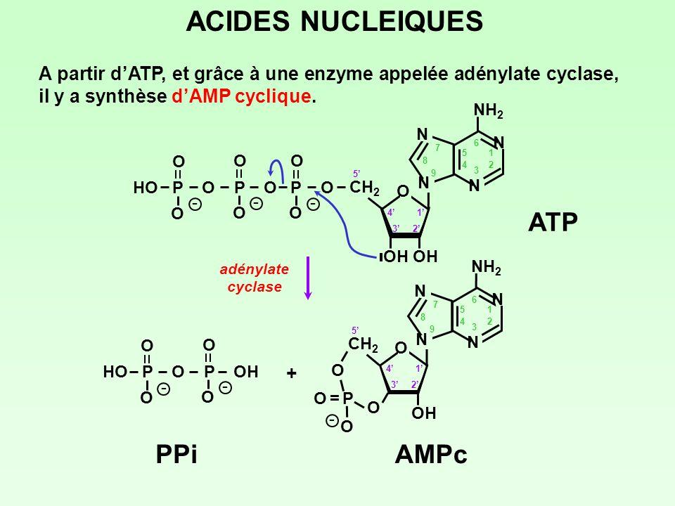 ACIDES NUCLEIQUES ATP AMPc PPi