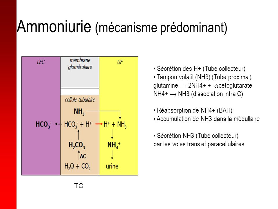 Ammoniurie (mécanisme prédominant)