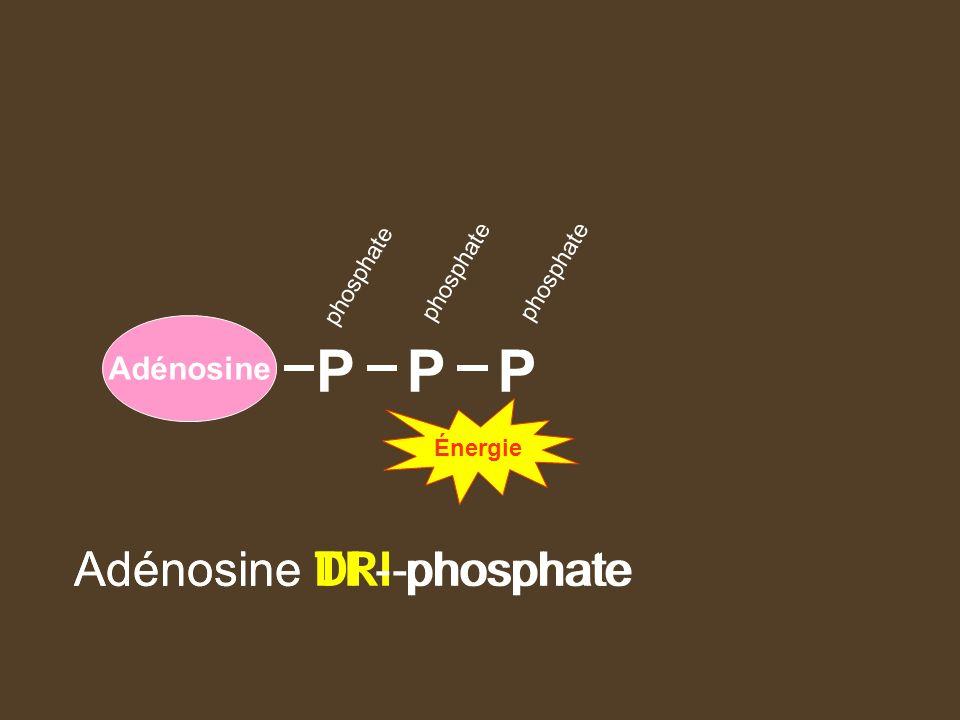 P P P Adénosine TRI-phosphate Adénosine DI - phosphate Adénosine